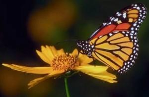 A butterfly DEVELOPS from a caterpillar.